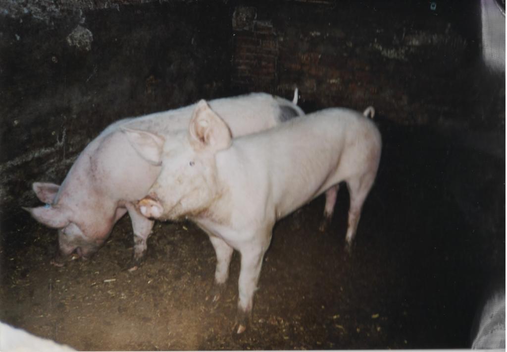 Piggi und Piggeldi Massentierhaltung